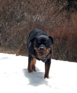 Ivan the Rottweiler